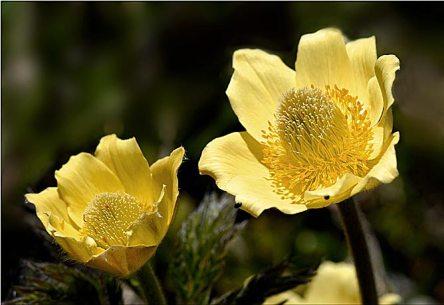 Couple de pulsatilles à fleurs jaunes visité par de tous petits insectes