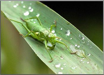 Ephippigère femelle sur des gouttes d'eau
