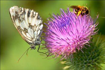 papillon et abeille sur un chardon
