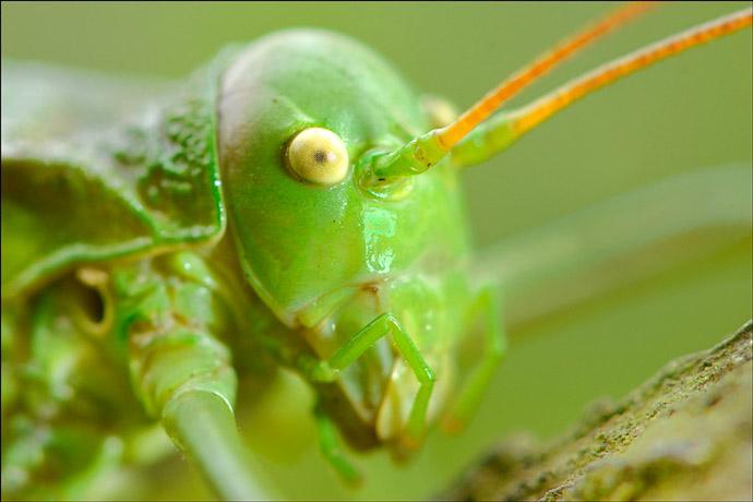 insecte ephippigère