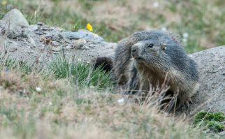 marmotte inquiète
