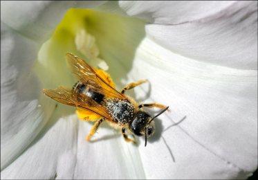 Abeille solitaire sortant d'une fleur de liseron