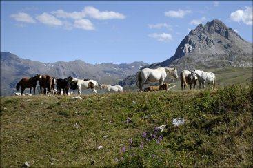 Chevaux au pré entre Tignes et Val d'Isère