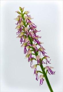 Orchis Bergoni hybride
