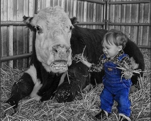 criancá de 2 anos sentada no meio do feno alimentado uma vaca que está deitada