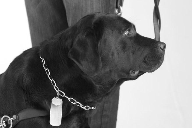 Mac, cão-guia, da raça labrador, cor preta, em foto lateral , onde temos a guia de trabalho e corrente junto ao pescoço com sua identificação.