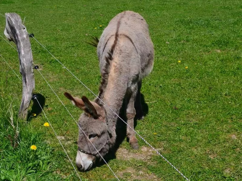 Esel Thüringen