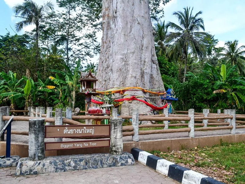 Riesenbaum in Thailand