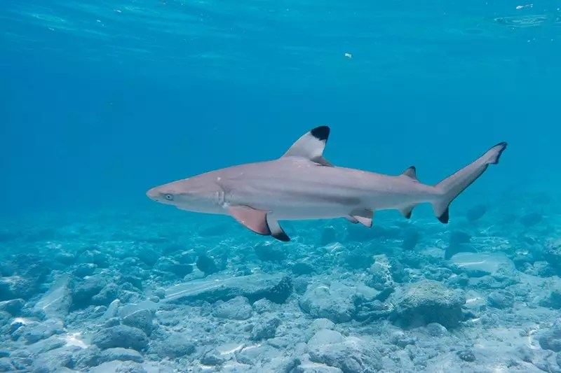 Riffhai Malediven
