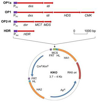 KIKO vector with expanded MCS showing 4 operons carrying genes of MEP pathway