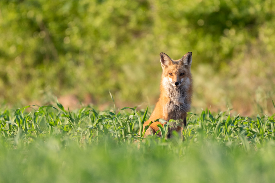 Read more about the article My first experience with a Red Fox family