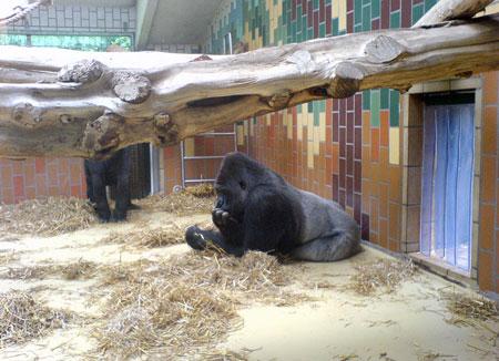 Les gorilles du zoo de Sarrebruck