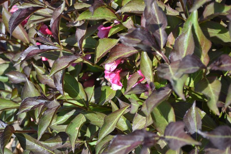 Flowering Shrub Identification Purple Flowers