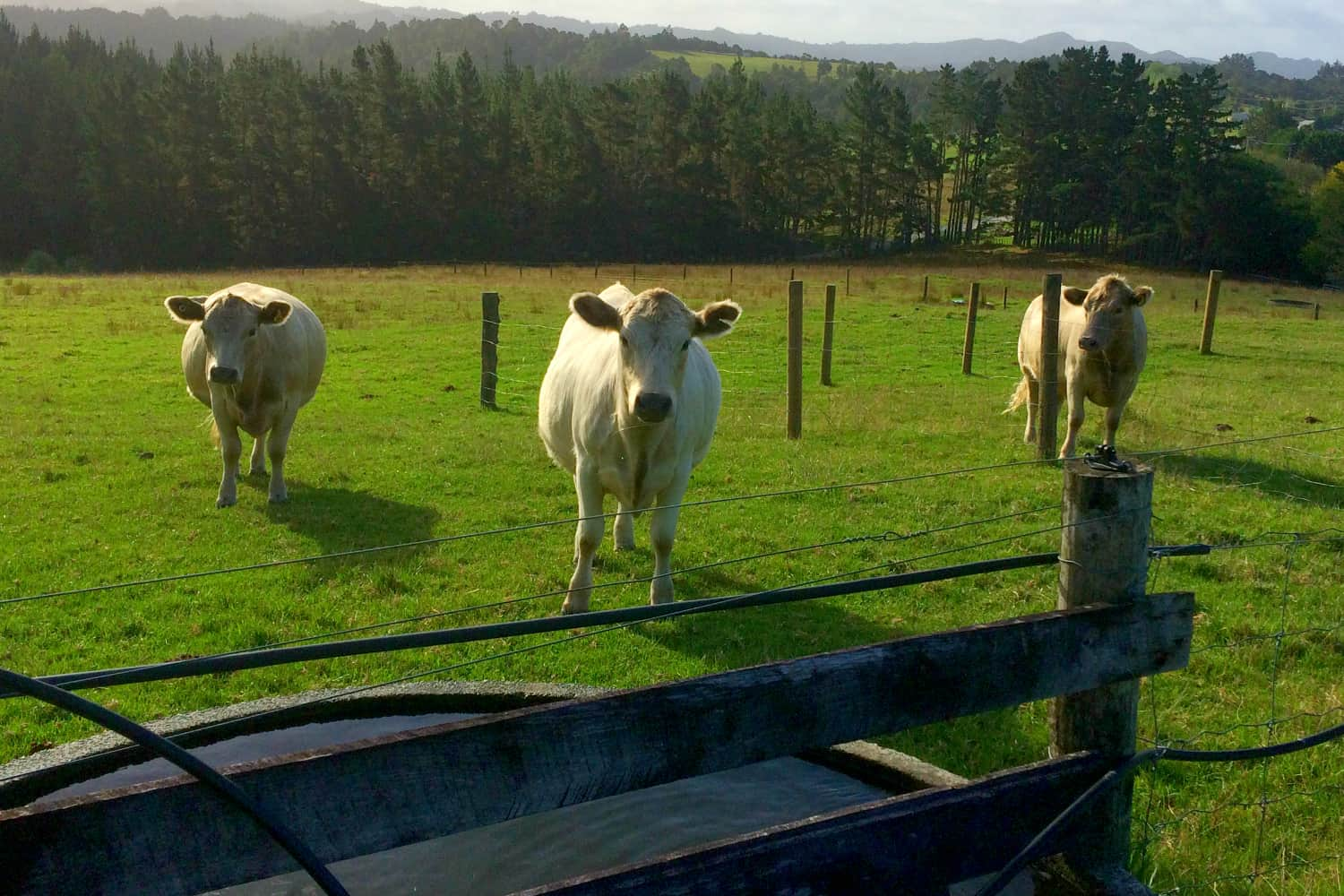 The Cows in the sheep paddock