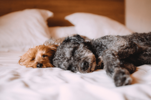 two puppies sleeping on the bed