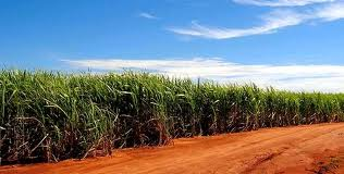 Sugarcane for Ethanol