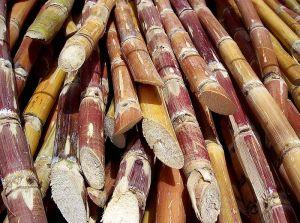 Sugarcane_Philippines
