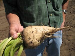 energy-sugar-beet-biofuels