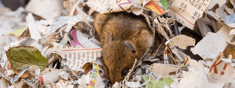 signs of rodent infestation