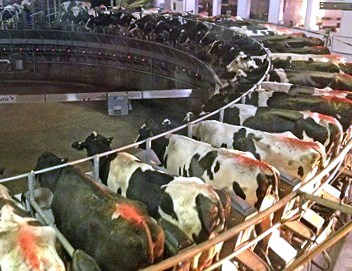 Image result for dairy cow factory farming