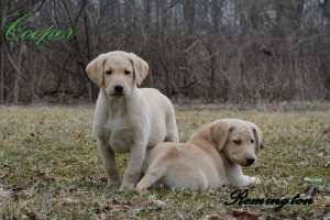 Cooperremington10weeksold
