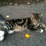 Numa as a kitten, a Cleeve Cats regular