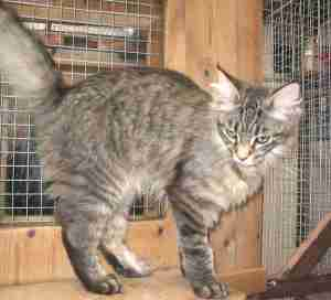 Enzo at Cleeve Cats Cattery Wiltshire