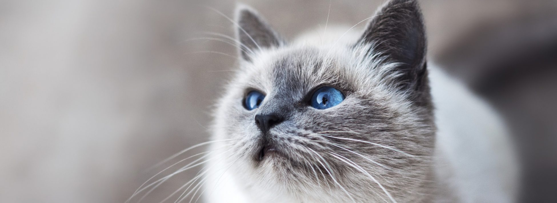 Cleeve Cats Cattery near Melksham