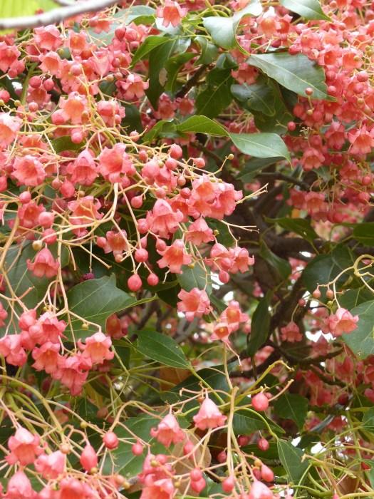 Brachychiton tree in flower