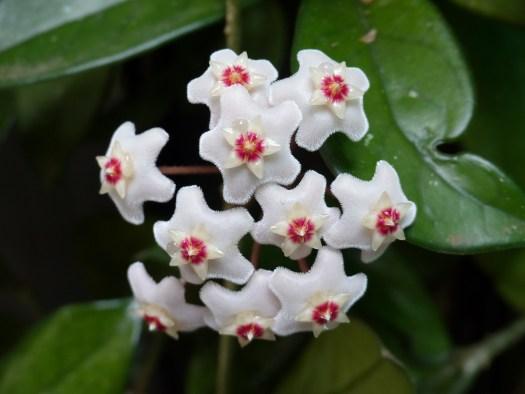 Hoya flowers with nectar