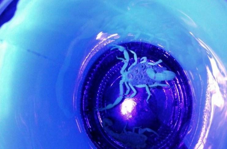 escorpião ocm filhotes e1458235801804