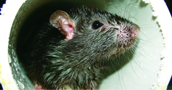 rato leptospirose