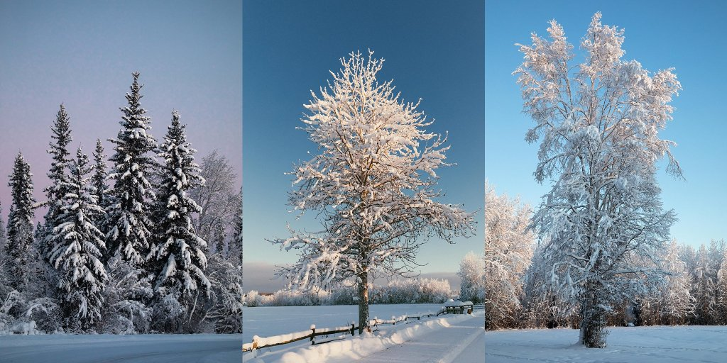 Beautiful trees in winter in Alaska