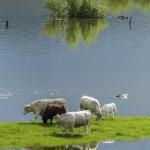 cows-358963_1920