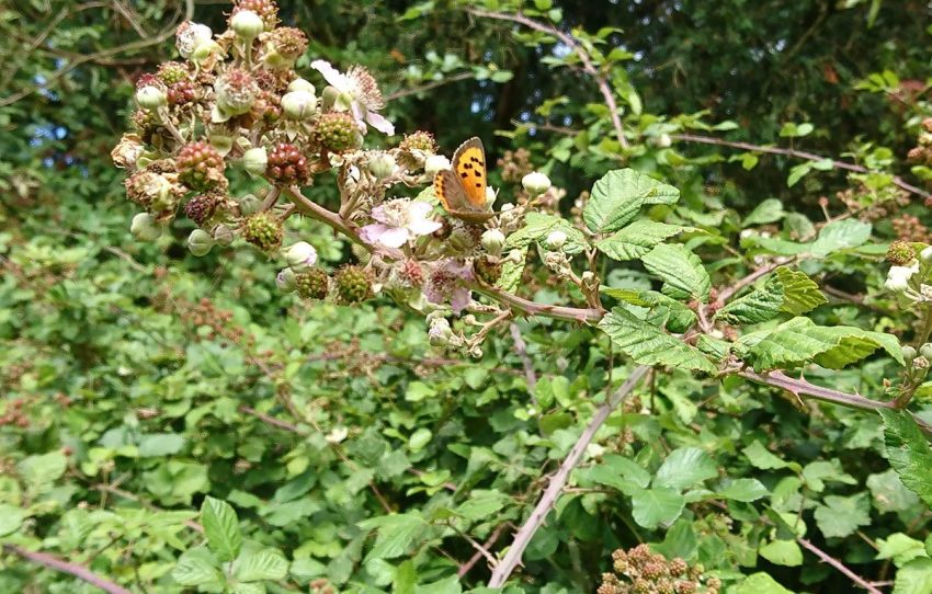small copper butterflies on bramble
