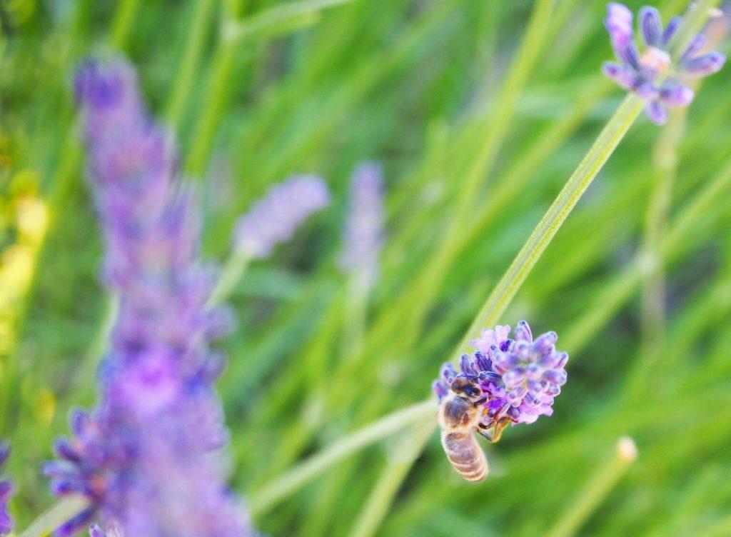 Abeille dans un champs de Lavande. Parc Naturel Régional du Verdon Alpes de Haute-Provence