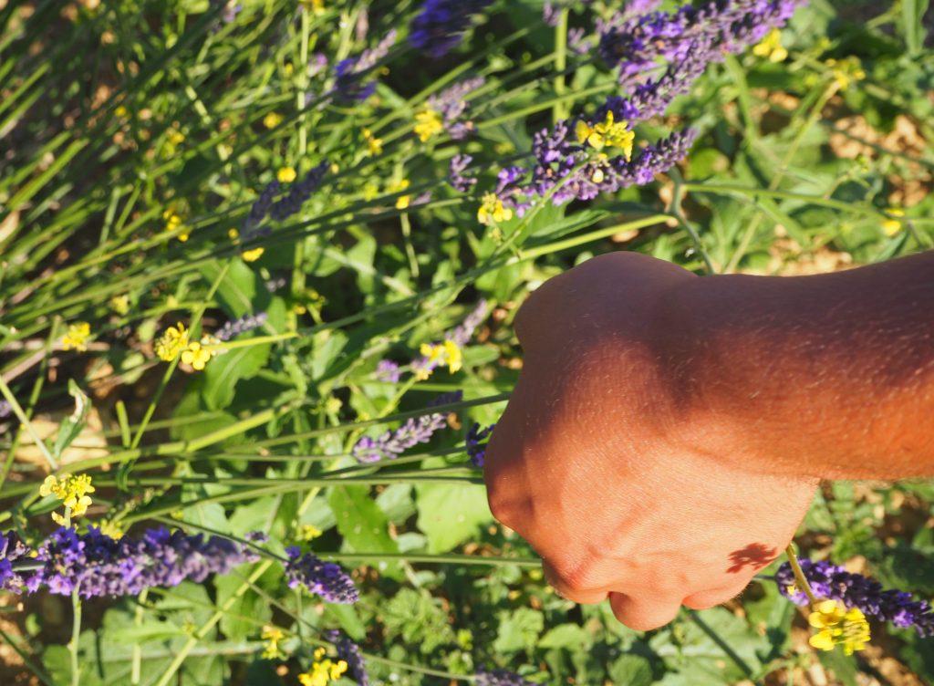 Ramasser des champs de Lavande. Parc Naturel Régional du Verdon Alpes de Haute-Provence