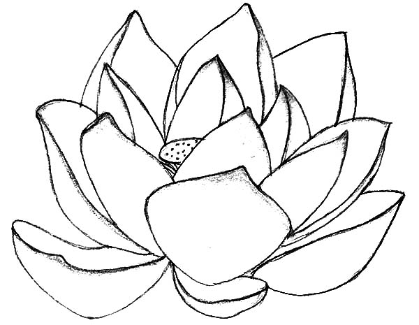 lotus coloring pages  clipart best