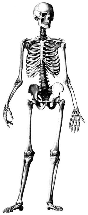 Human Skeleton Diagram Without Labels  ClipArt Best