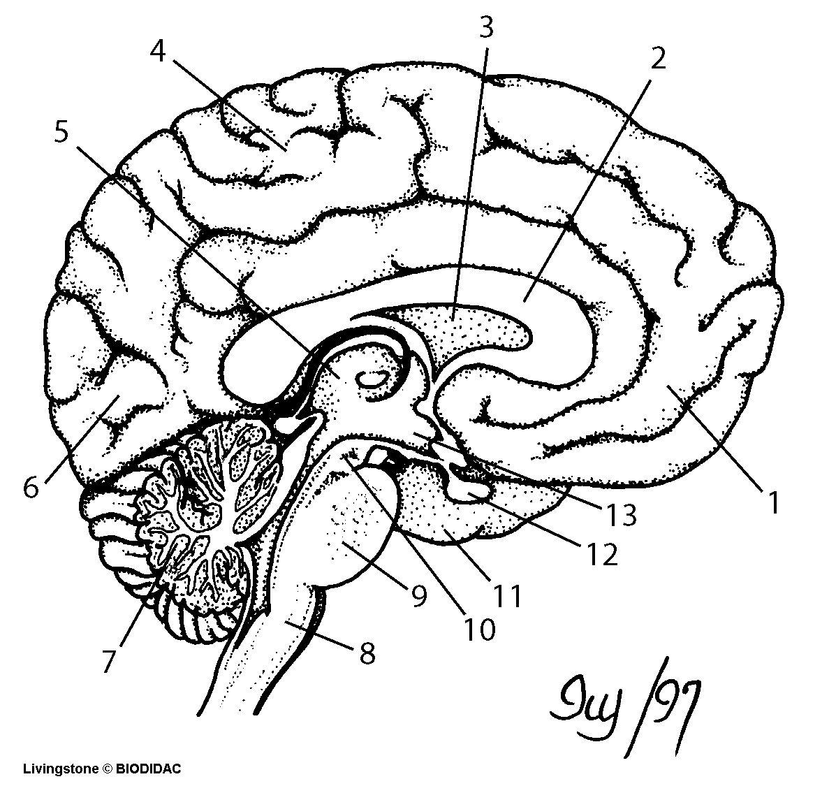 Brain Diagram Coloring Page Sketch Coloring Page