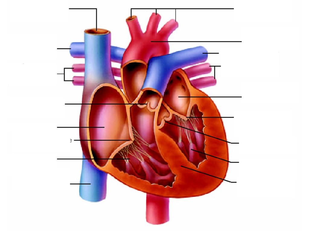 Heart Anatomy Unlabeled