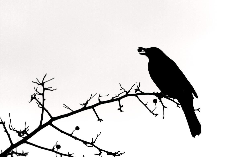 Silhouette Of A Blackbird