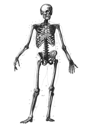 Skeleton Diagram Without Labels  ClipArt Best