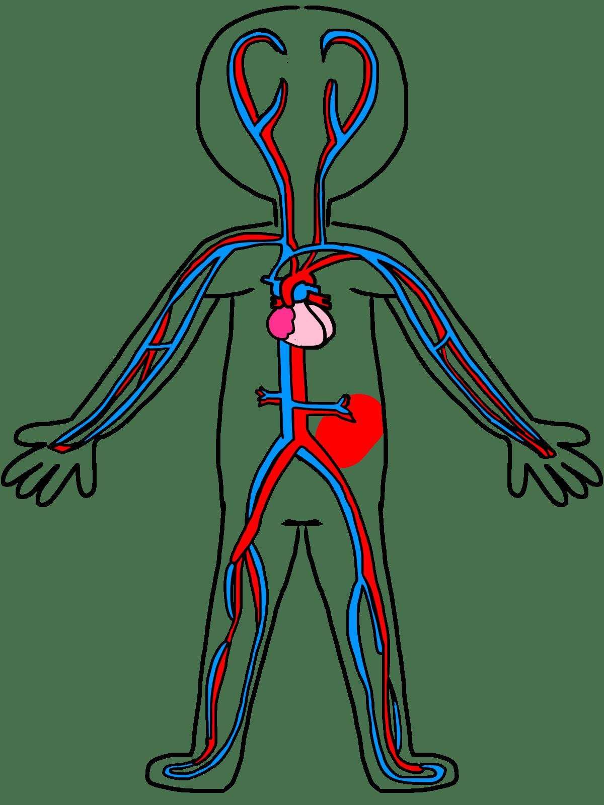Circulatory System Drawing Kids