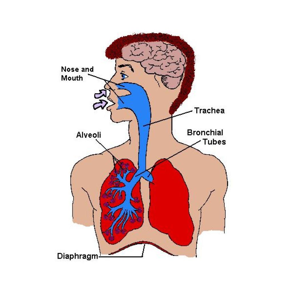 Male Internal Organs Diagram