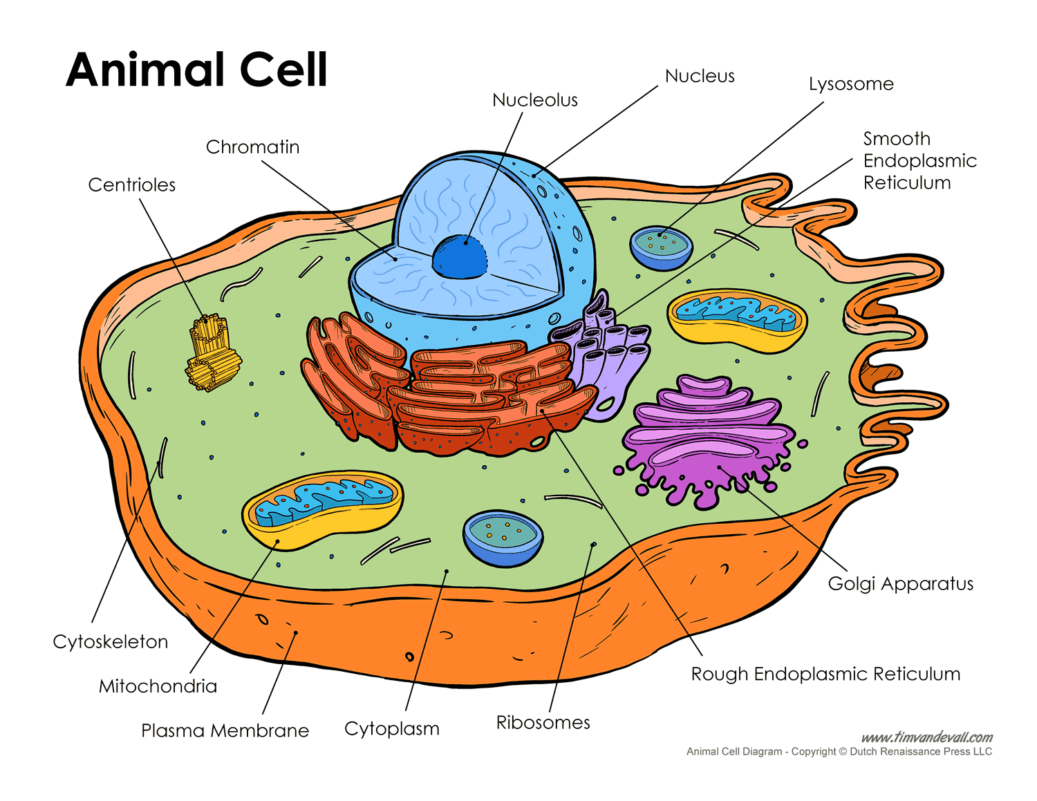 Diagram Of Cell