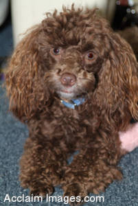 Stock Photo of a Chocoloate Poodle