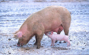 Free Photo of Mama and Baby Pig. Click Here to Get Free Images at Clipart Guide.com