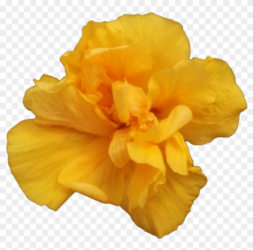 Single Yellow Rose Flower Images Wajiflower Co