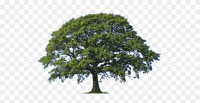 Live Oak Tree Bark Live Oak Tree Clipart Png - Oak Trees Clip Art@clipartmax.com